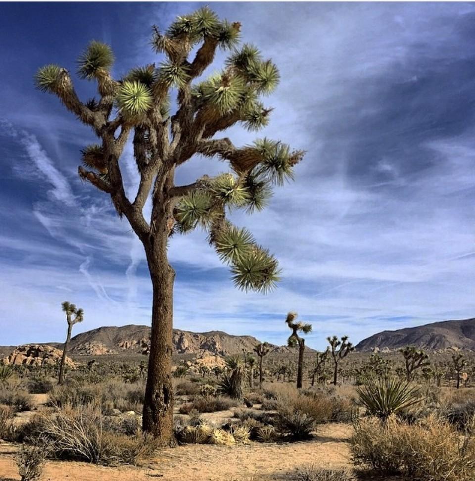 Jucca brevifolia, Joshua Ağacı Milli Parkı, Kaliforniya